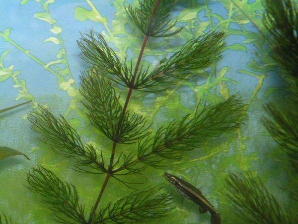 Роголистник темно-зеленый очень неприхотлив и отличается быстрым ростом