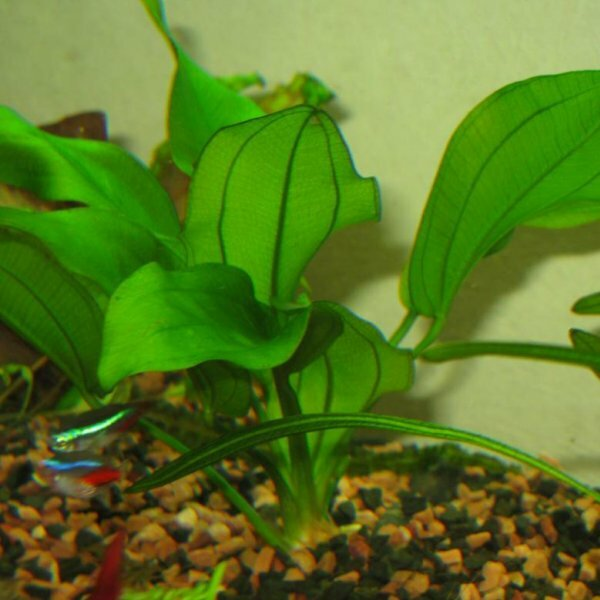 Эхинодорус вертикальный пригоден для выращивания в аквариумах любого объема