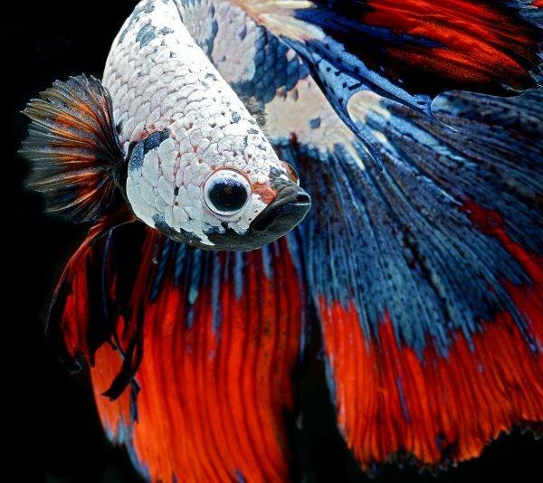 Ситцевая форма бойцовой рыбки