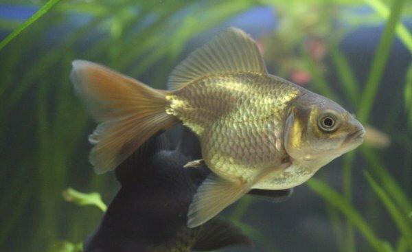 Золотая рыбка - исходная форма и предок вуалехвостов