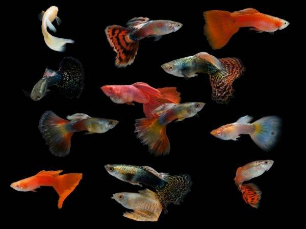 Многообразие расцветок аквариумных гуппи