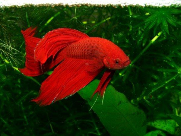 Одноцветные бойцовые рыбки