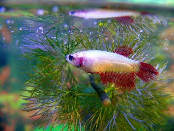 Двухцветная самка петушка