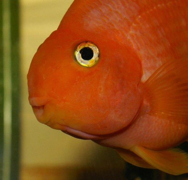 Красный попугай - энергичная и игривая рыбка