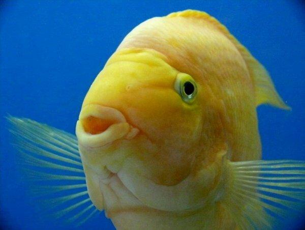 Лимонно-желтый попугай