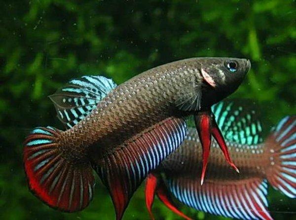 Многоцветные формы петушка