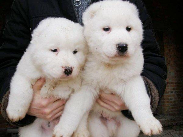 Белые щенки алабая