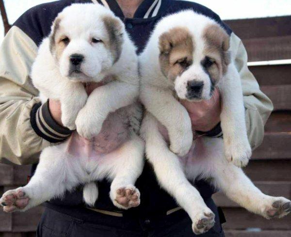 Черно-белый и бежево-белый окрас щенков