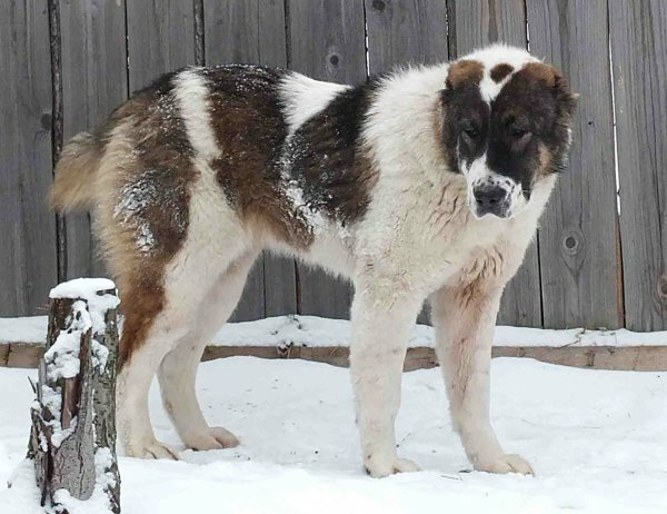 Длинная густая шерсть - хорошая защита от холода и мокрого снега