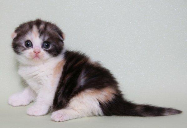 Многоцветный шотландский вислоухий котенок