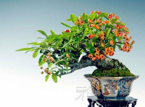 Толстянка бонсай с яркими цветками