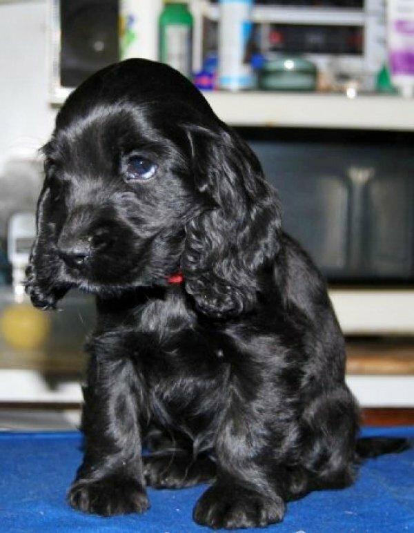 Чистый черный окрас щенка
