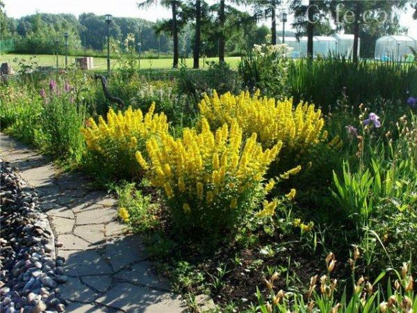 Золото осеннего сада – Вербейник точечный