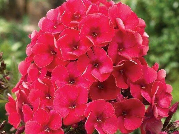 Садовые цветы для букетов – пёстрые Флоксы