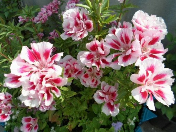 Бело- розовое чудо: Годеция