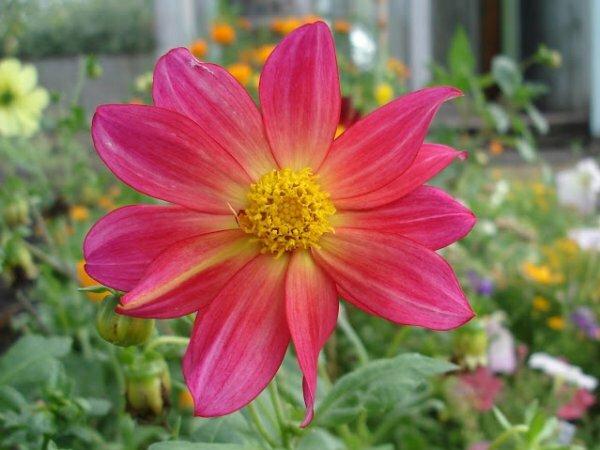 Нежная красавица – Циния