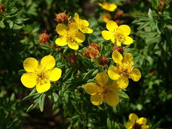 Желтое пламя – Пятилистник кустарниковый