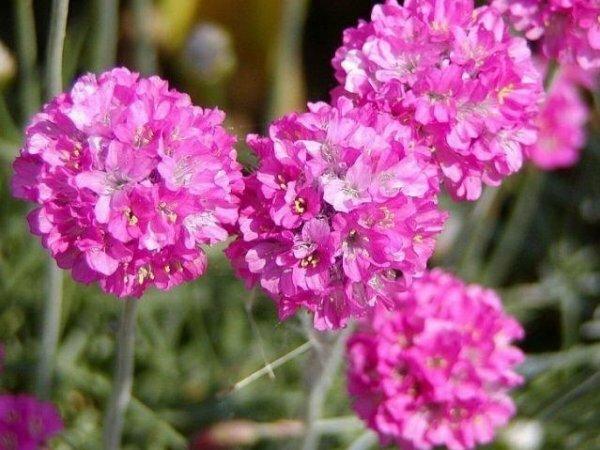 Розовая дымка‒ Армерия приморская