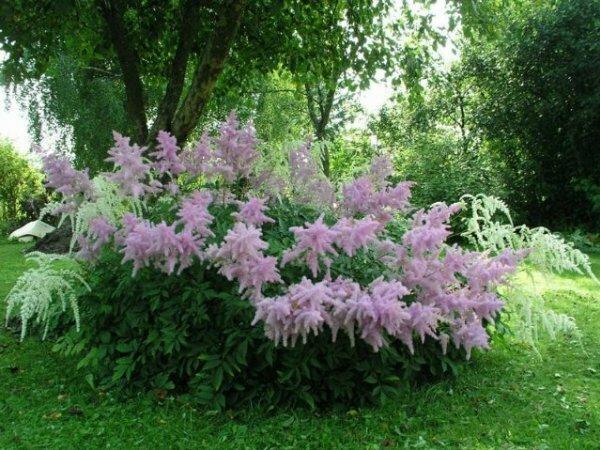 Розовые «метёлки» – Астильба