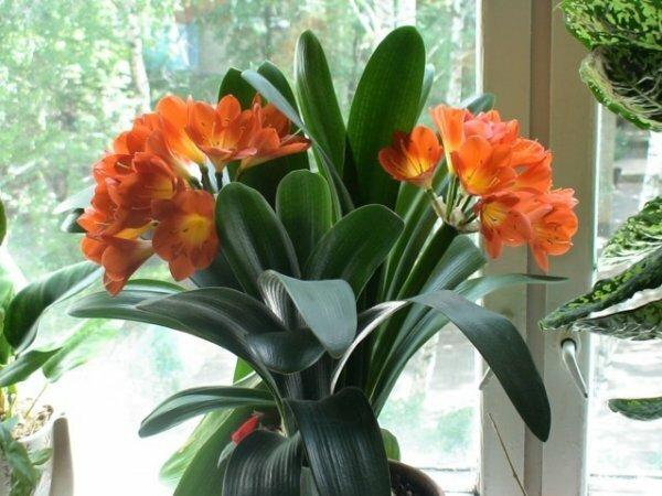 Роскошные луковичные цветы в горшочках: Кафрская лилия