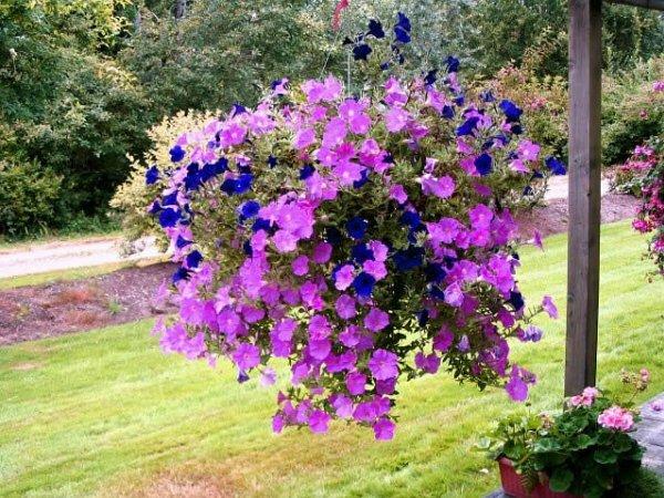 Ярко-фиолетовая красавица Петуния