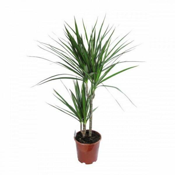 Драцена отличается медленным ростом, но зато является выносливым растением