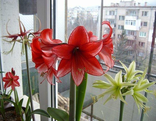 Амариллис (комнатная лилия)