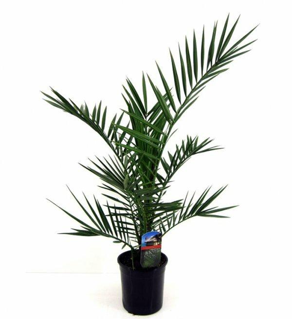Финиковая пальма растет медленно, но при правильном уходе может достигнуть огромных размеров