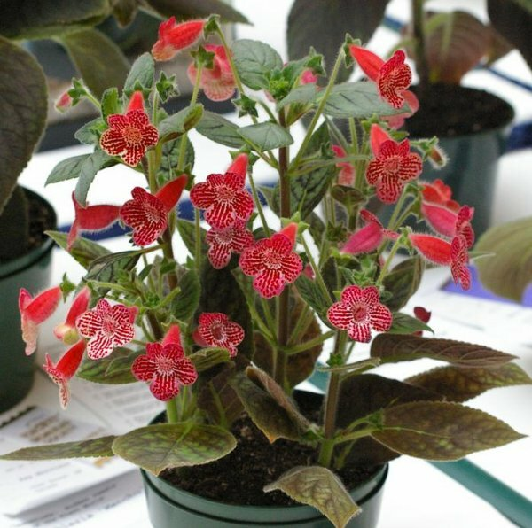 Колерия пушистоцветковая – красивый и неприхотливый цветок