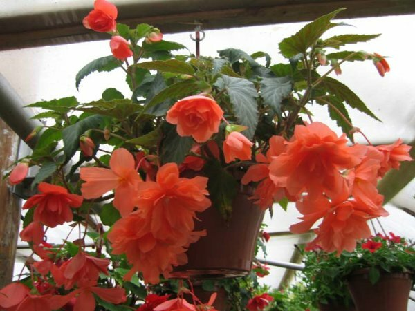 Бегония ампельная отличается обилием полумахровых или немахровых цветов