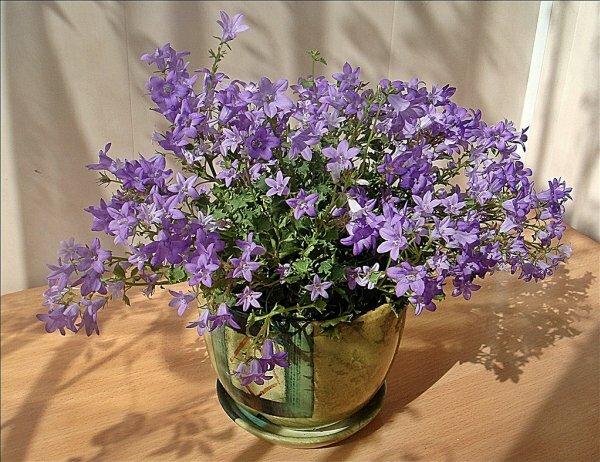 Кампанула – миниатюрное ампельное растение с нежными цветками белого и голубого цвета