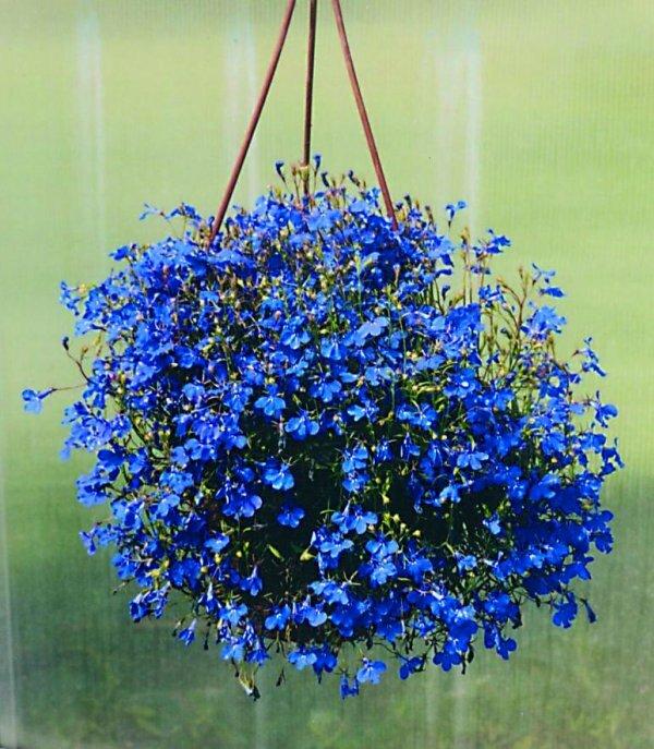 Лобелия имеет мелкие синие или голубые колокольчатые цветки