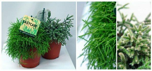 Рипсалис - вид древесных кактусов без колючек