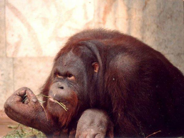 Орангутанг для «ВКонтакте» – «А ваше мнение мне не интересно»