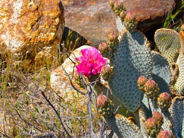 Опунция главная или основная (Opuntia basilaris)