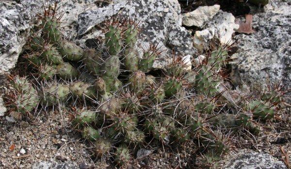 Опунция ломкая (O. fragilis) - миниатюрный, компактный кактус с небольшими цветками