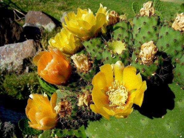 Цветущая опунция инжирная (O. ficus-indica)
