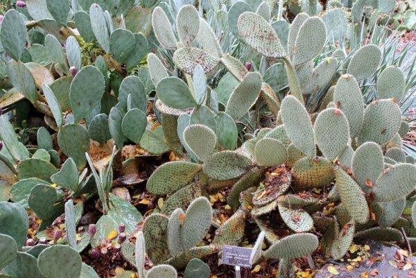 Кустовидная опунция Шеера (O. scheerii)