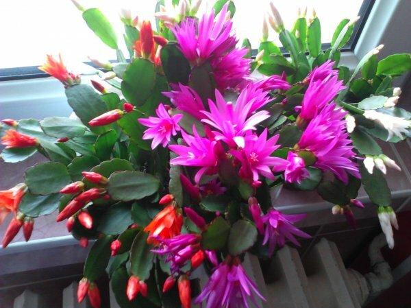Рипсалидопсис Гертнера (Rhipsalidopsis gaertneri), или «пасхальный кактус»