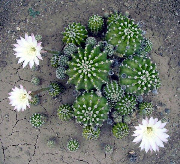 Семейка шаровидного эхинопсиса острореберного (Echinopsis oxygona)