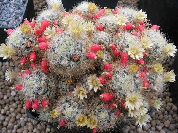Буйноцветущая и плодоносящая М. пролифера