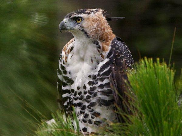 Подобная судьба постигла и орлана-белохвоста, еще одного хищного представителя семейства ястребиных. В 2013 году он был объявлен Союзом охраны птиц России птицей года