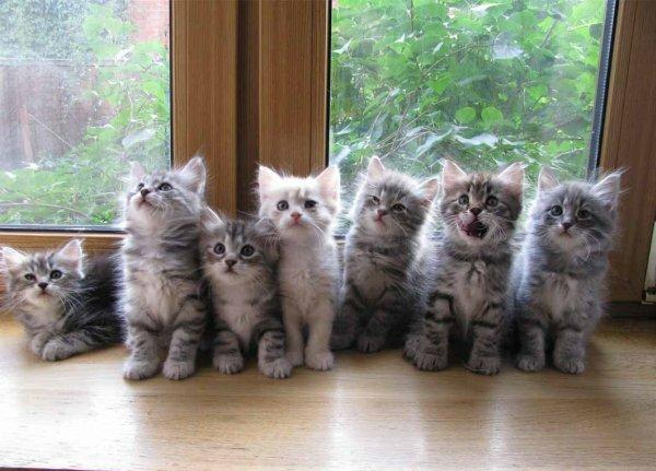 Сибирские котята - продолжение рода и породы