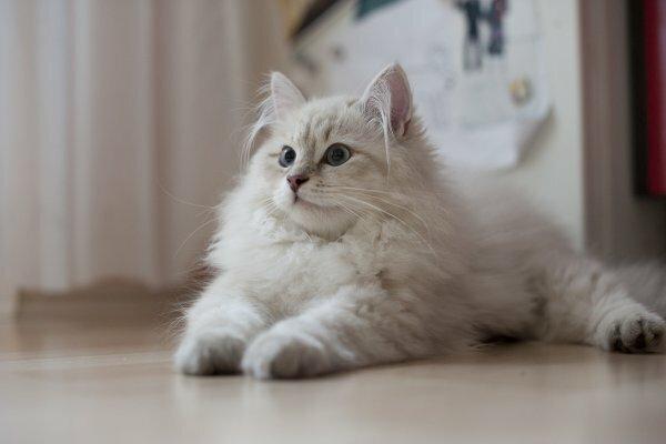 Дымчато-белый сибирский котенок
