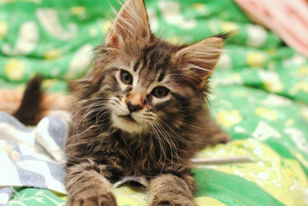 Котята мейн куна – рыси от рождения