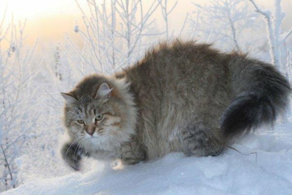 Сибирская кошка на охоте