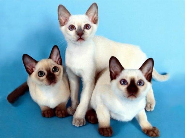 Сиамские котята-подростки