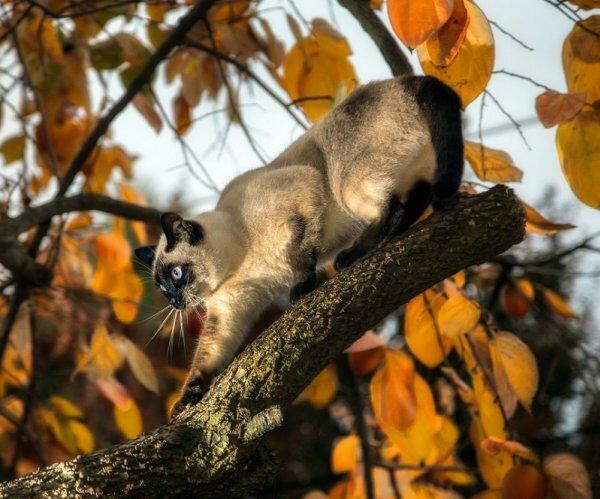 Сиамская кошка на охоте