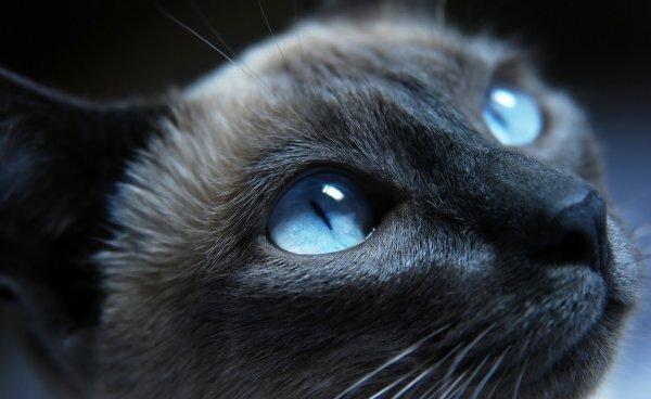 Типичный сил-пойнт взрослой кошки