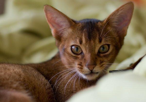 Подросший абиссинский котенок